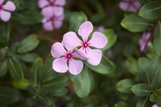 rosa madagascar