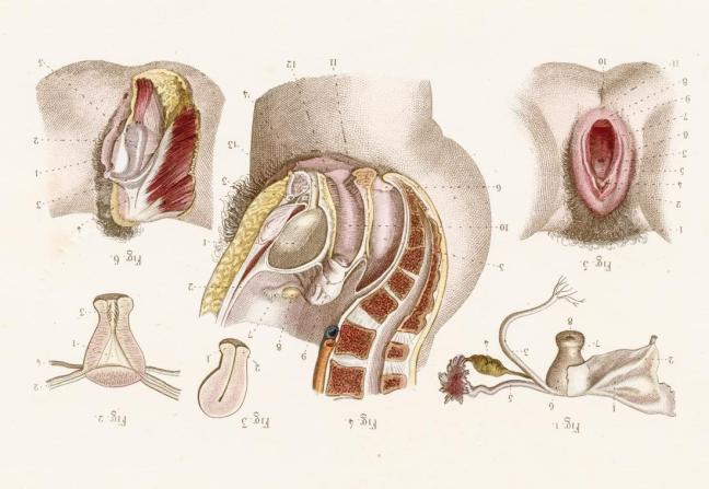clitoride anatomia.jpg
