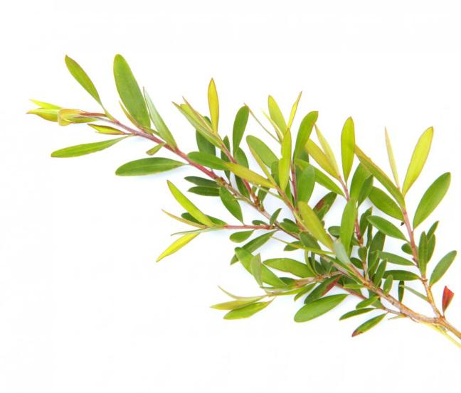 tea tree pianta.jpg